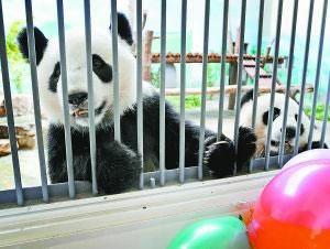 四川卧龙大熊猫朗朗在南京重度癫痫发作病死
