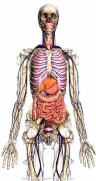 人体土术_谷歌研制3d人体构造浏览器 可清晰观看人体内部
