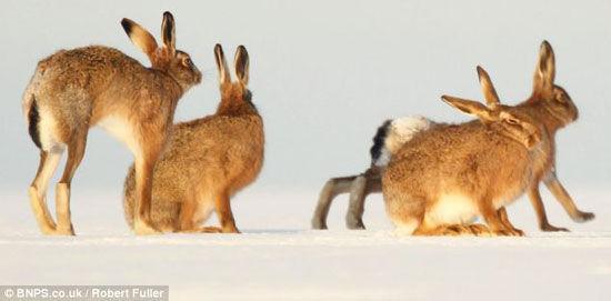 抓拍野兔群雪地聚会 优胜劣汰强者获交配权