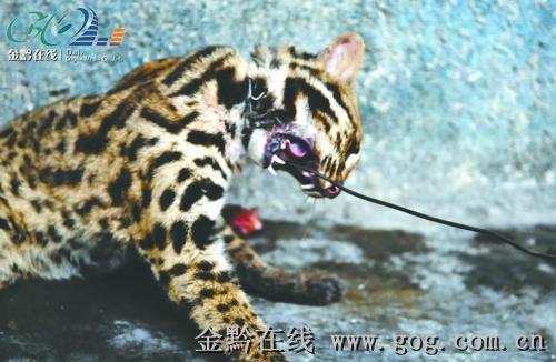 豹猫是产于亚洲的猫科动物