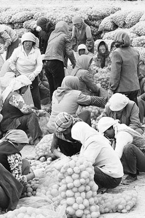 11月25日,在我国土豆之乡定西市安定区,土豆从农民手里收购的价格为1.05元,在菜市场零售价达1.80元。CFP供图