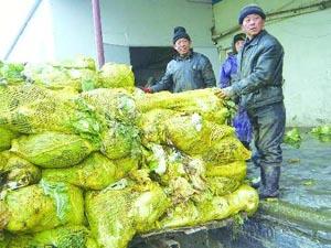 泡菜加工厂工人将收购来的白菜存入冷库。 苑菲菲 摄