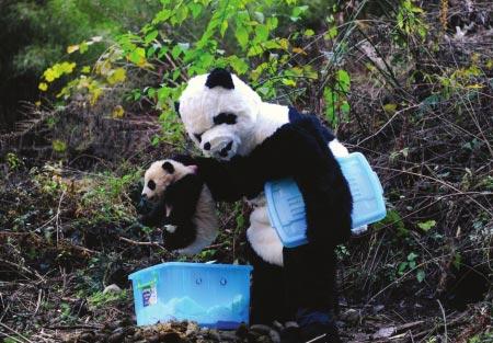 《饲养员乔装大熊猫》入选图片:工作人员准备给熊猫宝宝量体重