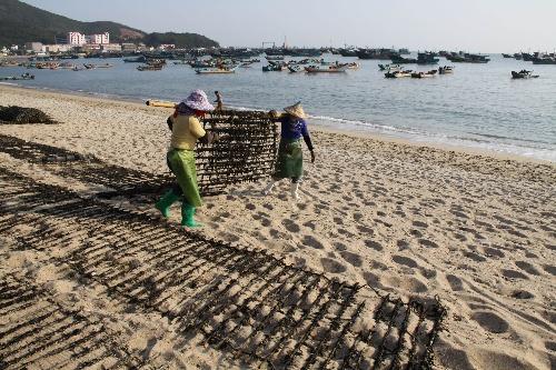 元旦刚过,广东汕头南澳县岛上的渔民便忙于收获紫菜.