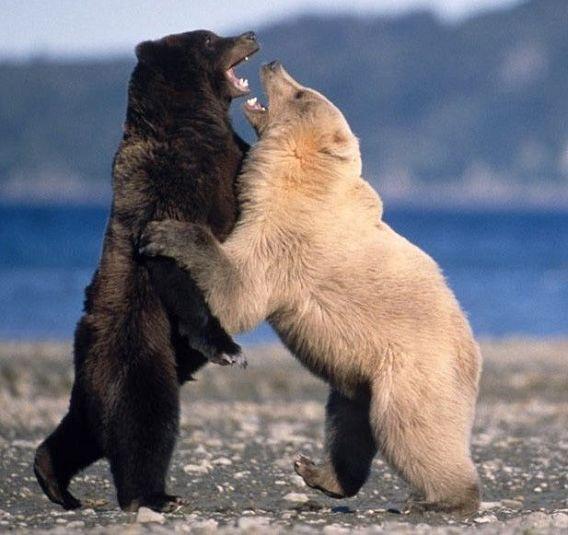 棕熊上演终极格斗