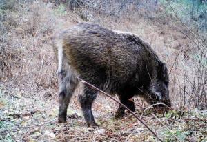 野猪在枯黄的草地上找食物