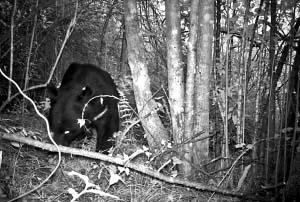 黑熊谨慎地通过树林