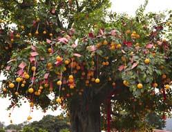 大埔林村许愿树