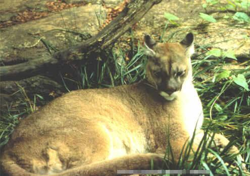 cougars in vermont