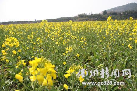 阳春三月菜花飘香(组图)