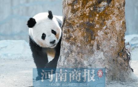 好在熊猫是喜寒的动物