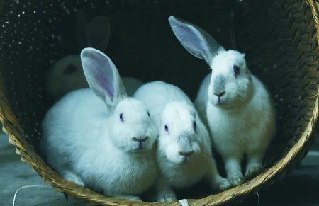 兔子 的脚印什么样子