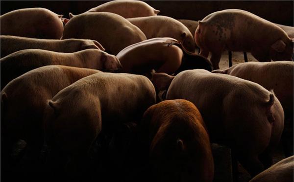 裸体美女射粺)�h._韩国美女摄影师 裸体入镜与猪亲密接触(组图)