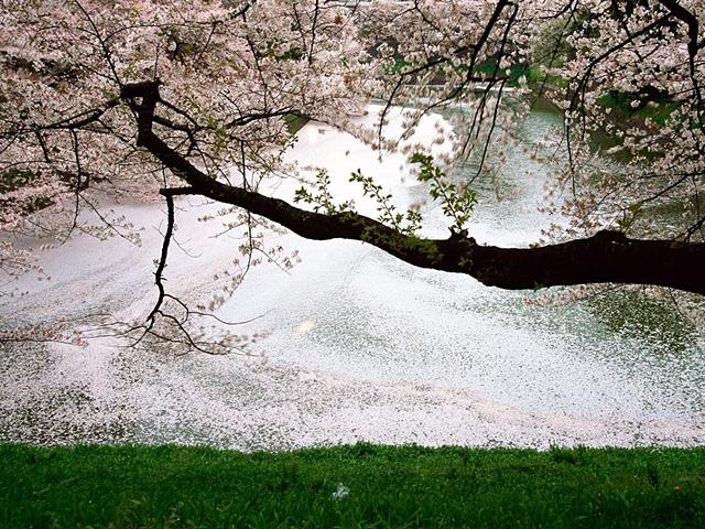 樱花,日本