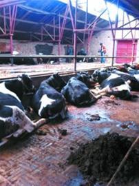 马文选的奶牛养殖场里,目前已有16头奶牛。