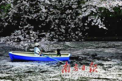 昨日在东京千鸟渊,游船荡漾在樱花飘零的河面上。樱花飘零,会给震后日本带来更多的遐想。