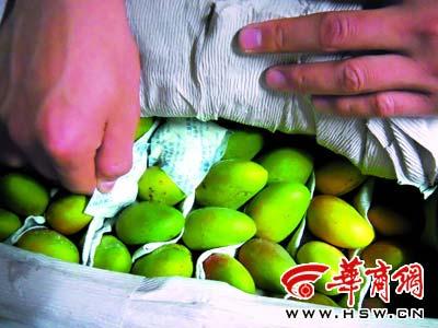 """4月7日,西安胡家庙水果批发市场。一名批发商给一筐青芒果""""加药""""后,放入棉被下面等待升温变黄本组图片由本报记者 邓小卫 摄"""
