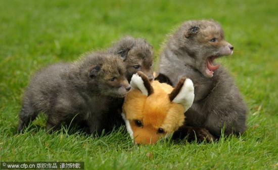 """小狐狸们兴奋地围在""""无动于衷""""的""""妈妈""""身边"""