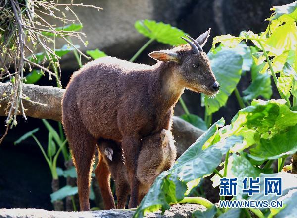 威海刘公岛门票_宝岛梅花鹿、长鬃山羊将到 威海掀起台湾热(图)-搜狐新闻