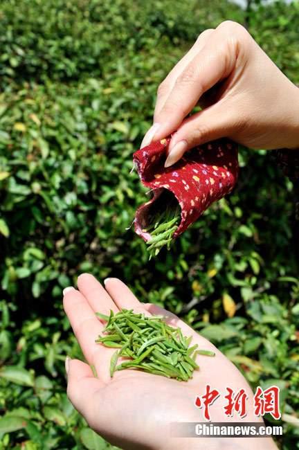 采茶工口唇茶专用收集工具(图片来源:中新网)-公司招聘采茶女要图片