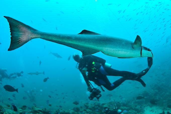 这时有一条鱼在我眼前一晃,我赶紧把它拍了下来,定睛一看,还是印鱼.