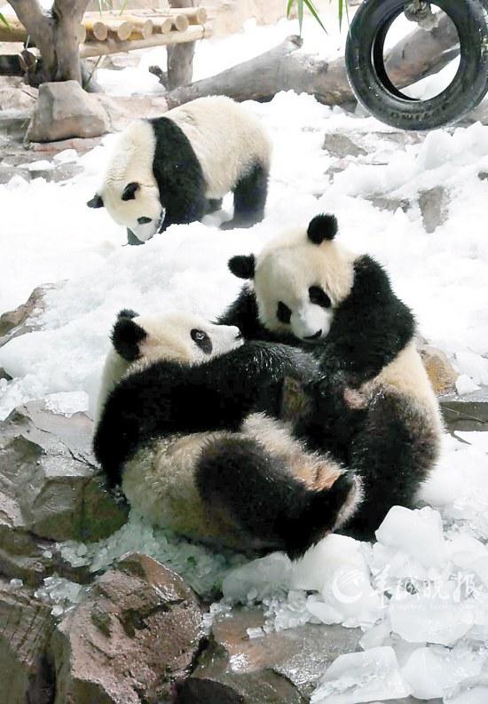 香江野生动物世界为大熊猫打造了一场冰雪