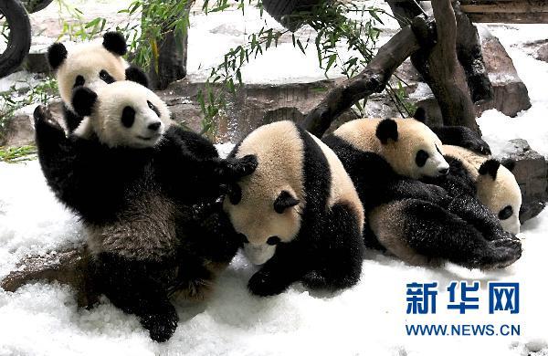 正在雪中嬉戏的熊猫
