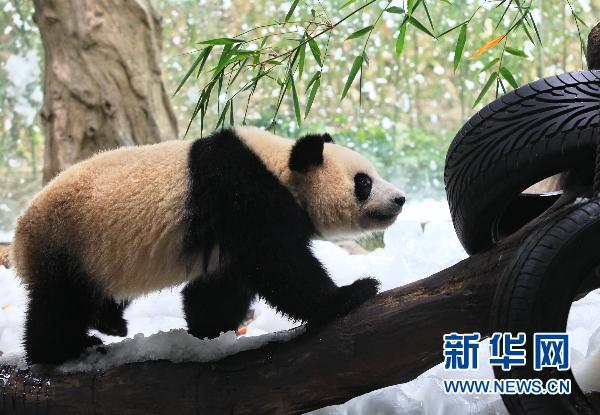 馆内大熊猫活动明显趋向活跃
