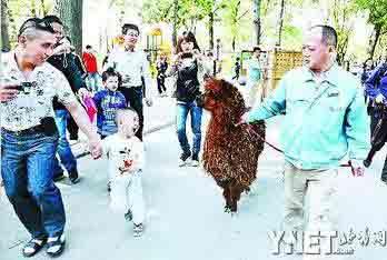 羊驼的搬家之旅让游客们欣喜不已,沿途不断有人拥上前跟它们合影