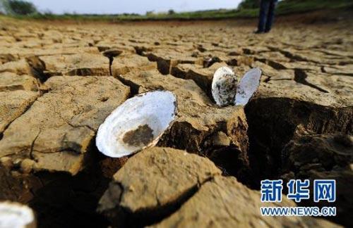 湖北省孝昌县一处干涸池塘底部的河蚌壳(5月3日摄)。新华社记者 郝同前 摄