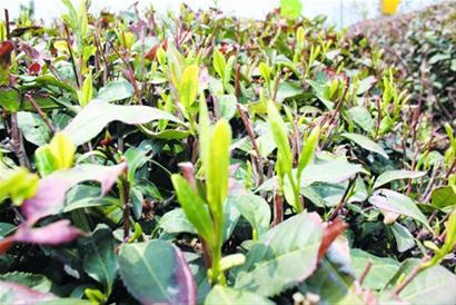 一般情况下,青岛崂山茶年产量可以达到600吨—1000吨以上,崂山茶
