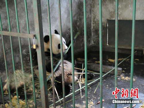 """大熊猫""""英英""""正在圈舍里食竹 。中新网发 杨杰 摄"""