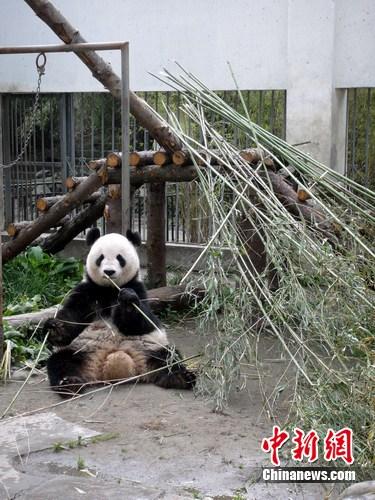 """大熊猫""""海子""""正在阳光下吃早餐。 中新网发 杨杰 摄"""