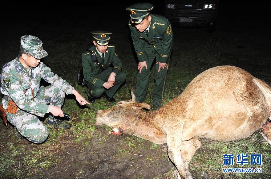 马滴达 事件 珲春/专家在袭牛现场测量野生东北虎脚印5月13日摄。