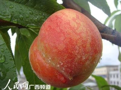 大化桃子熟了(组图)