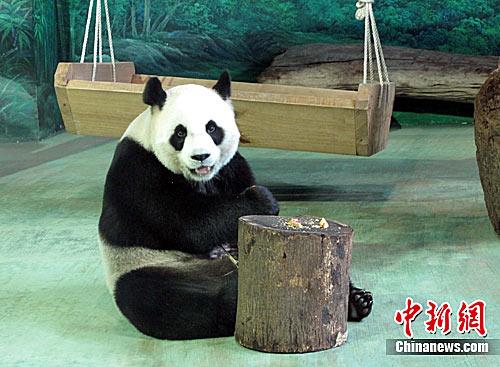 """赠台大熊猫圆圆""""害喜"""" 很可能已怀孕"""