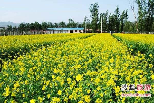 中天瀚海农业观光园油菜花