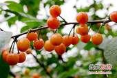 樱桃采摘旺季 红红火火惹人爱
