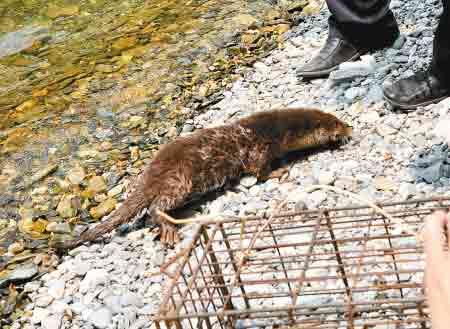 国家二级保护动物水獭被放生黑河月牙潭。  记者张波 实习生杨帆 摄