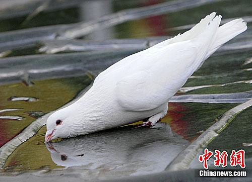 武当山白鸽子汲取雨水图片