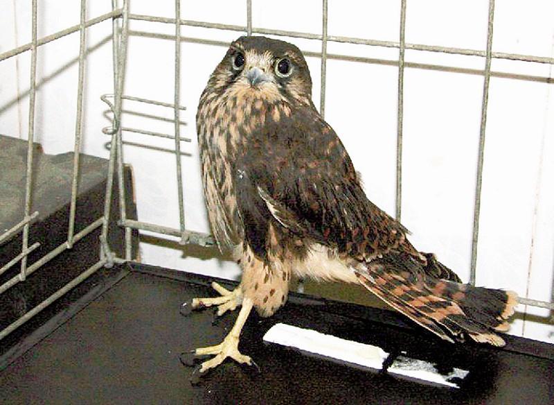 为国家二级保护动物,并将雀鹰带至九峰山放飞