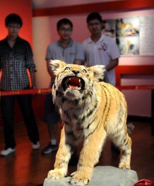 王松/5月26日,市民在参观野生东北虎幼虎标本。新华社记者王松摄