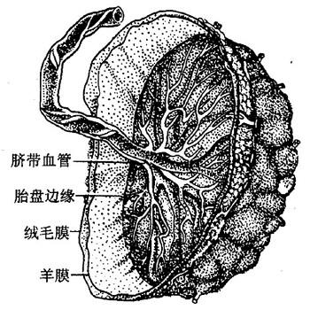 胎盘结构图-济南一年有6万多名新生婴儿降生 胎盘到哪去了