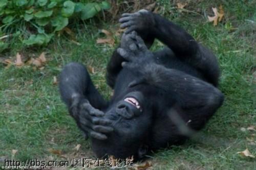 美动物园大猩猩捧腹大笑 表情夸张图片