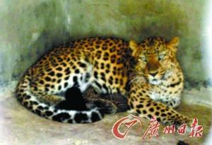 凶悍的豹妈护着豹崽。