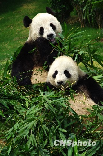 """2007年,为庆祝香港回归祖国10周年,中央政府将""""乐乐""""和""""盈盈""""这对大熊猫赠送给香港。两只熊猫落户香港海洋公园,受到香港市民的喜爱。"""