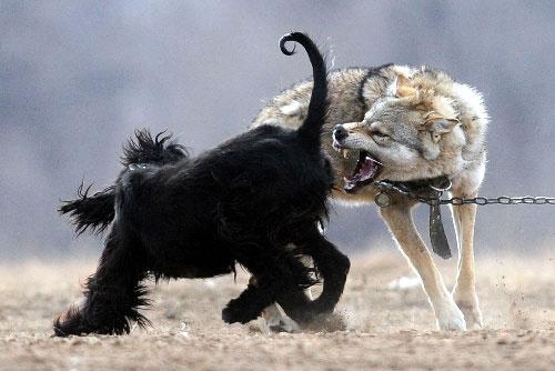狼与猎狗争斗 野狼差点撕下猎狗一层皮(组图)