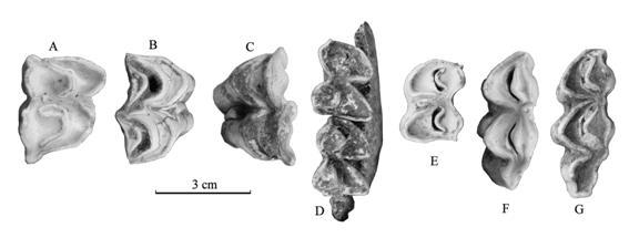 颊齿_广西崇左三合大洞发现与巨猿共生的早更新世反刍类化石(组图 ...