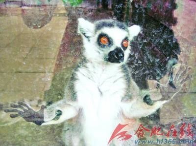 6月7日,北京动物园里的小环狐尾猴紧紧地扒在玻璃窗前看外面的世界,它