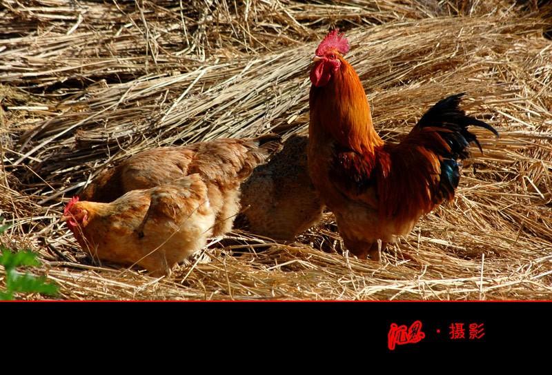 三措施控制好育成鸡均匀度(图)